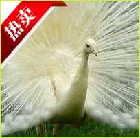 在山东哪里有养孔雀的,孔雀养殖场都在哪里