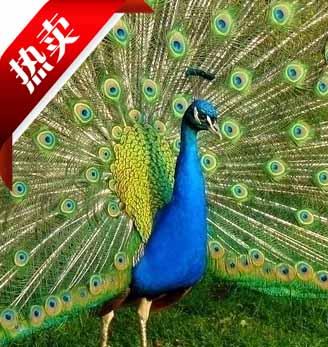 蓝孔雀多少钱一只