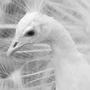 中国最大的孔雀养殖